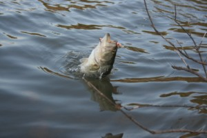 Venting can save the lives of bass caught in deep water